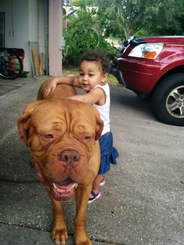 An extra reddish-orange large dog with a huge head that is bigger than the toddler that his holding onto the dogs back outside in a driveway next to a red car