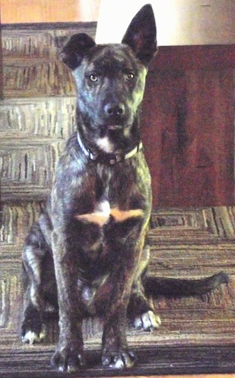 Front view of a dark brindle brown dog with a blaze of white on his chest, neck and tips of his paws, light colored eyes, large ears with one standing straight up and the other folded over at the tip and a long tail sitting down on a carpet looking forward.