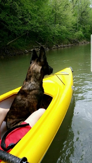 The backside of a brown and black patterned shephepherd dog with large perk ears sitting down in the front of a bright yellow kyack boat.