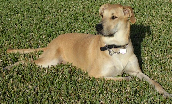 A large breed tan dog with a small head in comparison to the thick body, a long muzzle, a black nose, black lips, ears that fold down to the sides and a long tail laying down in grass.