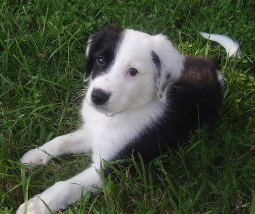 Front size view of a little black and white puppy laying down in grass. half of the dogs face is black and the other half is white.