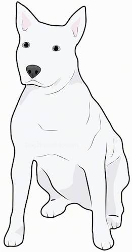 Front side view drawing of a muscular white dog with a wide chest, perk ears, a big black nose and dark eyes sitting down.