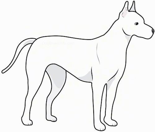 Side view drawing of a white dog with perk ears and a long tail standing faceing the right.