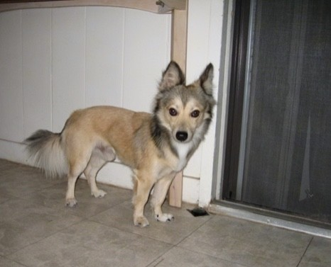 A little tan dog with black tips on his head, neck ears and long fringe tail standing uner a table in a kitchen next to a sliding glass door at night. He has a black nose, wide round dark eyes and white on his chest.