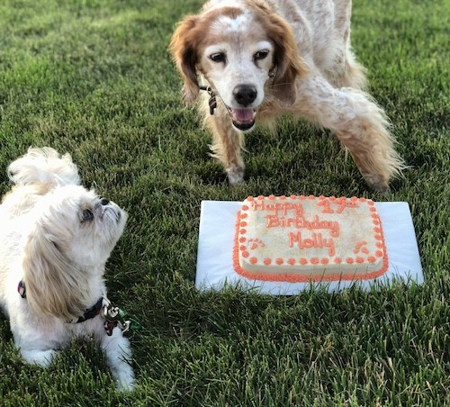 A medium-sized tan and white ticked dog standing outside in grass in front of a birthday cake that says Happy 17th birthday Molly next to a small white dog