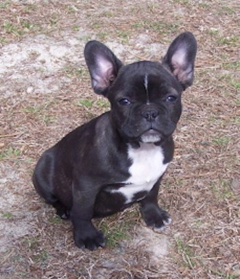 A small thick, muscular black with white puppy with a big round head, large bat perk ears, almond shaped dark eyes, a black nose and a pusehd back square snout sitting down in brown grass. The puppy's body is black and her chest is white with a line of white down the blaze of her forehead and on her chin.