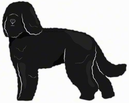 Side view drawing of a thick, curly coated black dog with hair that covers up the dogs eyes and long ears that hang down to the sides with a long tail standing up.