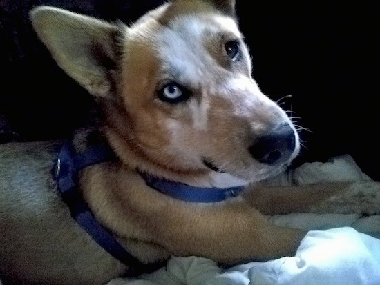 Side view of a tan dog with large perk ears, one blue eye, one brown eye, a long snout with a black nose wearing a blue harness laying down on a person's bed.