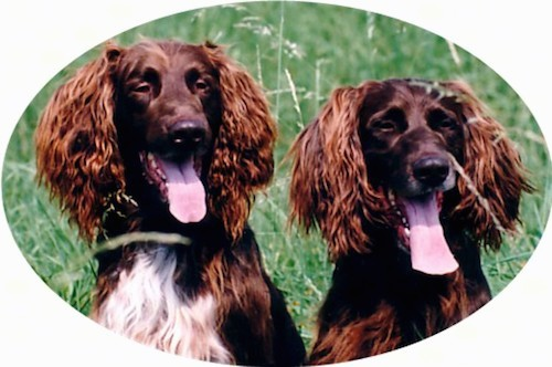 Two big brown dogs with long hair coming from their ears sitting down outside in grass with their tongues hanging out. The dog on the left has a white chest.