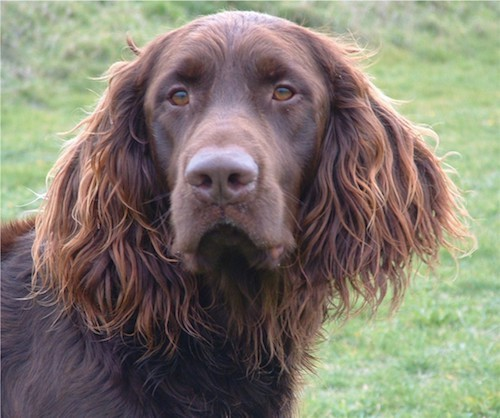 Head shot of a big brown dog with long wavy hair coming from her ears and neck with a big brown nose and brown almond shaped eyes.