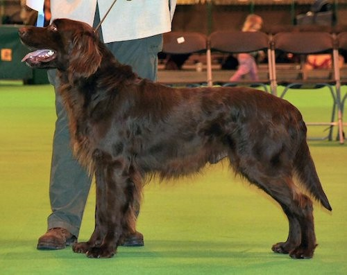 Side view of a large breed chocolate colored dog at a dog show out in the ring standing next to a man with gray pants and a white shirt.