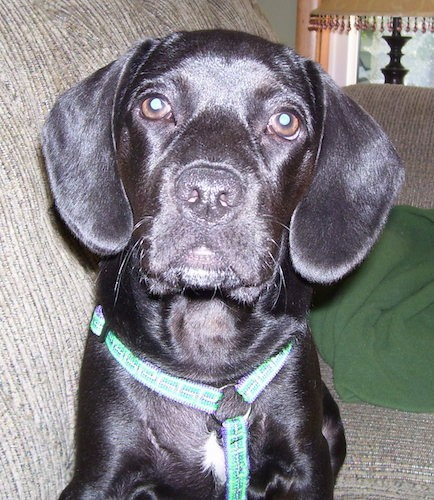 A shorthaired, soft looking, shiny black hound looking dog with long black ears that hang down to the sides, brown eyes, a black nose and black lips sitting on a tan couch wearing a green harness.