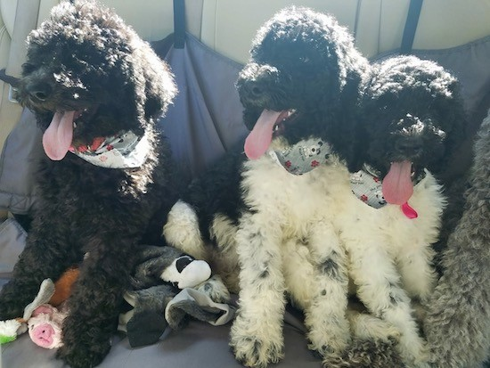 Three thick curly, wavy coated puppies sitting down with their tongues hanging out. One puppy is black and two are black and white