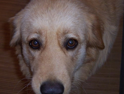 List Of Golden Retriever Mix Breed Dogs