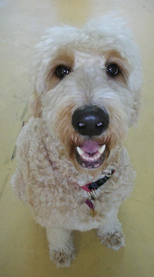 List of Goldendoodle Mix Breed Dogs