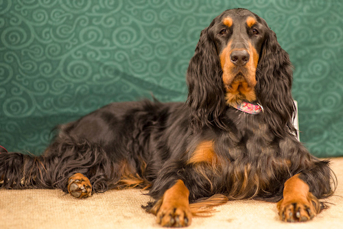 A black and tan dog with long soft wavy ears, brown eyes, a black body with a long tan muzzle and tan legs laying down in front of a green backdrop.