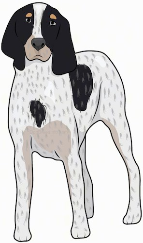 Front view drawing of a tall white, black and tan hound dog with long ears that hang past the dogs head, dark eyes and a black nose standing up.