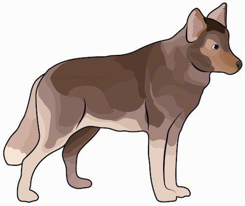 Side view drawing of a large breed dog that looks like a brown wolf with perk ears, dark eyes a thick coat with a long thick tail standing up.