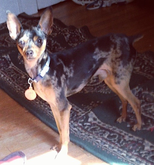 A colorful black, gray and tan dog with large perk ears, big round brown eyes and a small cropped tail standing inside of a living room wearing a collar with a big gold dog tag hanging from it.