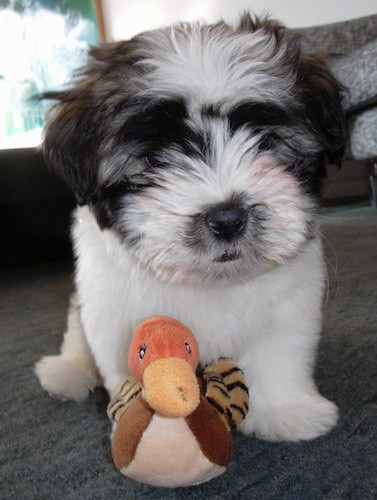 Front view of a fluffy little white white black and tan puppy with soft fur sitting down on a gray carpet in front of a stuffed duck plush toy. The puppy has a black nose, black lips and long hairs on his head making it so you cannot see his eyes and his ears blend with his head.