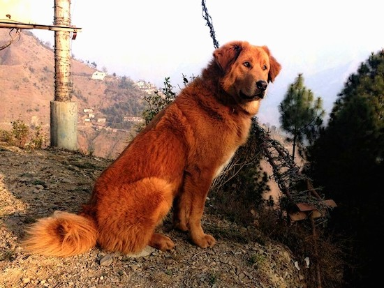 Side view of a thick coated red colored large breed dog with small fold over ears, a large black nose and a long fluffy tail sitting down in dirt in front of barb wire.