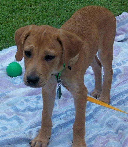 A tan dog with soft ears that hang down to the sides, a black nose and dark almond shaped eyes standing on a blanket outside in the grass with a green ball next to her.