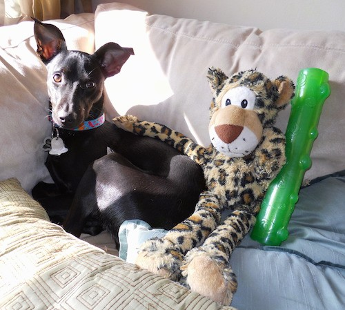 A shorthaired small thin dog with a long muzzle, ears that stand up and twist at the tips with brown eyes and a black nose laying curled up on a white couch with a plush stuffed cheetah sitting next to him with the arm of the toy resting on the dogs back and a green chew toy next to them.