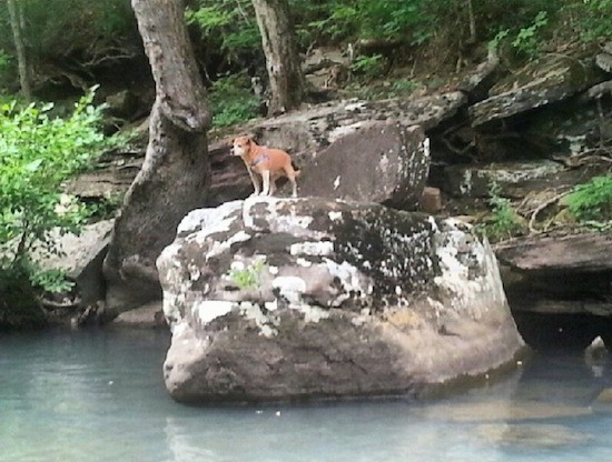 A view from across the water of a small brown dog with white on her legs and a gray muzzle standing on a huge boulder on the bank of the water way with a hill and trees behind her.