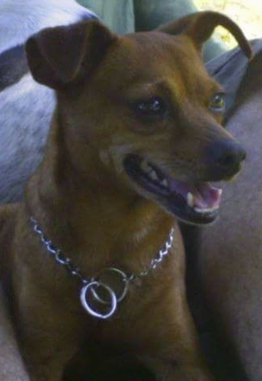 Front side view head shot of a small tan dog with ears that stick up and fold over in a v-shape at the tips, a long muzzle, a black nose and brown eyes with her mouth parted and tongue showing wearing a silver choak chain collar.