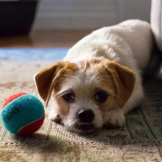 Front view of a white with tan dog that has ears that fold over and hang down to the sides in a v-shape, wiry looking hair coming off of its face, a black nose and dark eyes laying on a carpet next to a teal-blue and orange tennis ball.