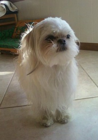Front view - A small white dog with long hair, a round head with a pushed back face, a black nose, dark eyes with rust stains around them and long hair hanging off of her ears that hang down to the side standing on a tan tiled floor.