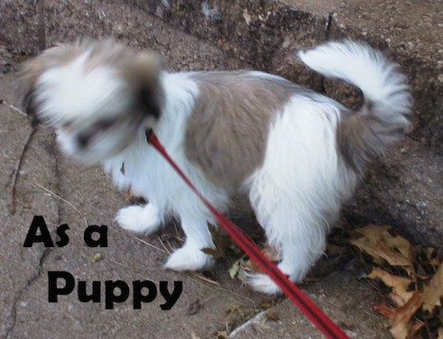 Side view of a tan and white small fluffy puppy with a tail that curls up over her back on a red leash outside next to a sidewalk curb with the words As a Puppy in black letters at the bottom of the image.