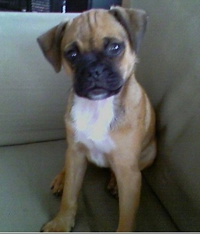 A small, shorthaired, tan, black with white dog that has a boxy looking muzzle, a black nose, wide round dark eyes and small ears that fold over to the front sitting on a light green couch. The pup has a tan body with a black muzzle and a white chest. The ears are darker than the body.