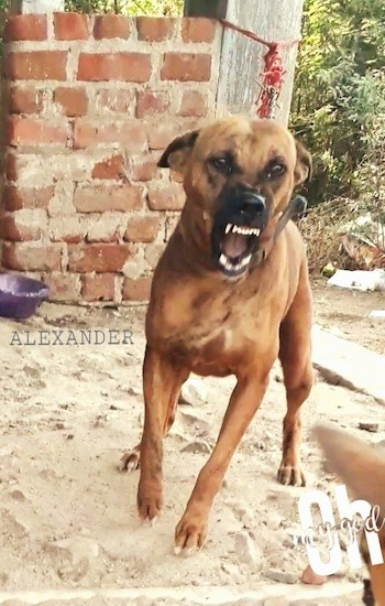 A brown dog with a black muzzle tied to a brick wall lunging forward with his teeth showing. The words 'Alexander' and 'Oh My God' are embeded in the image.