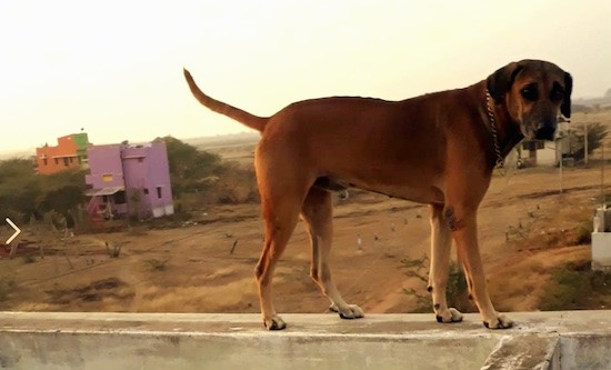Side view of a large breed brown dog with a long tail and ears that hang down to the sides like a hound dog standing on a wall with a dirt terrain and colorful buildings in the distance.