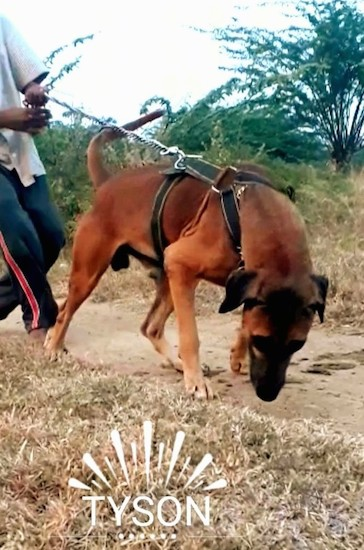 Front view of a large breed brown dog with a black muzzle wearing a harness pulling a man while on a leash across a dirt path. The words 'Tyson' are embeded into the image near the bottom across the brown grass.