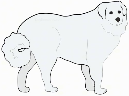 A drawing of a standing thick coated large breed dog with small ears that hang down to the sides, black eyes, a black nose and a fluffy tail that is being held low but curled at the end.