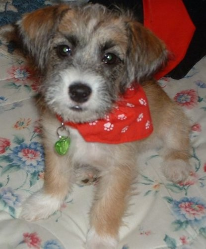 List Of Lhasa Apso Mix Breed Dogs