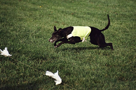 A black Greyhound dog wearing a yellow shirt chasing a white flag which is attached to a string through the grass.