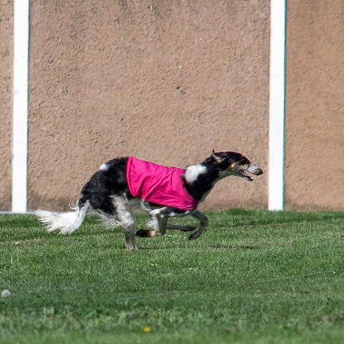 A black and tan with white Saluki dog wearing a hot pink shirt while running in grass on the lure coursing field.