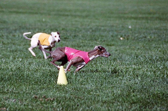 Two Greyhound dogs runningn in grass next to a yellow cone. The gray dog is wearing a pink shirt and the white dog is wearing a yellow shirt.