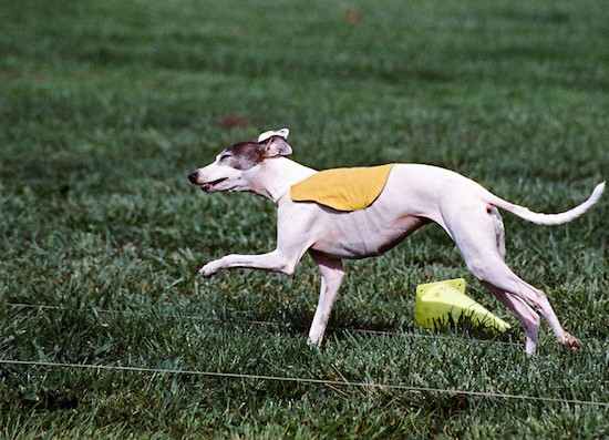 A white Greyhound dog wearing a yellow shirt running in a field next to two lure coursing ropes and a yellow cone that fell over.