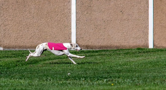 A white Greyhound dog wearing a hot pink shirt in mid motion running in a grassy field next to a tan stone wall.