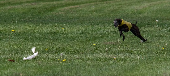 A black Greyhound dog wearing a yellow vest chasing a white flag that is attached to a string out in a grassy field.