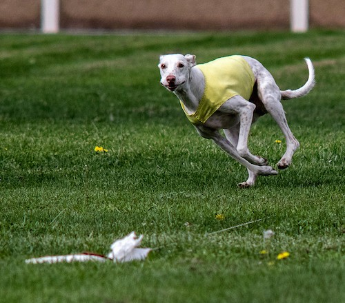 A white greyhound dog running towards a white cloth flag that is attached to a string while wearing a yellow shirt.