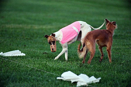 Two dogs out in a grassy field  standing next to a white flag lure. The white Greyhound dog has a pink shirt and a muzzle on and the brown Saluki dog is standing next to him.