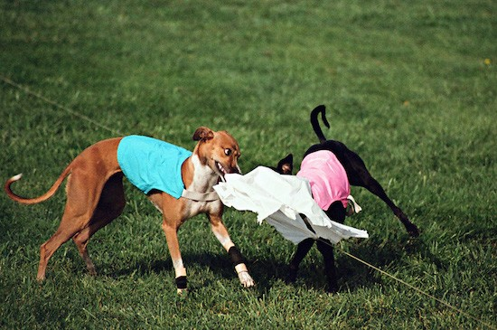 A brown Greyhound dog wearing a teal blue shirt biting a white flag that is attached to a string while a black Greyhound dog wearing a pink shirt bites the other end out in a grass field.