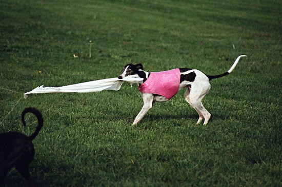 A white with black greyhound dog pulling on a long white cloth that is attached to a string out in a grassy field.