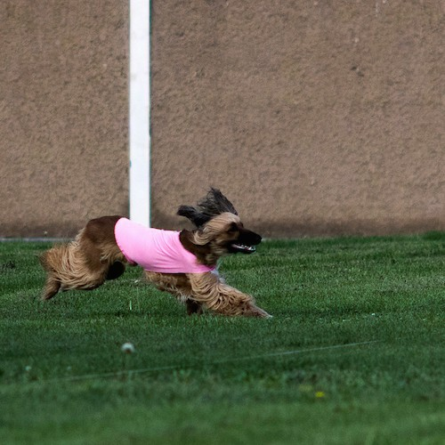 A brown and black Afghan Hound dog wearing a pink shirt has she runs in grass with her black ears flying backwards.