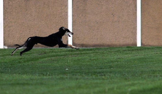 A black and tan Saluki dog in mid air as he runs in grass next to a tan stone wall.